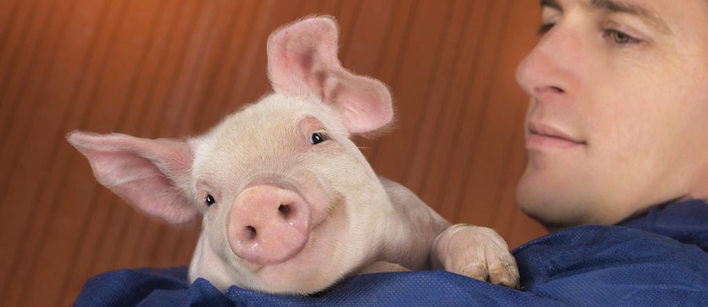 Zoetis - Species Pigs Home | Zoetis ZA
